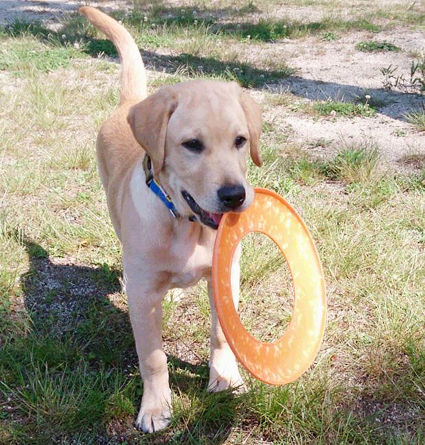 ラブラドールの仔犬マークがドッグランで遊ぶ