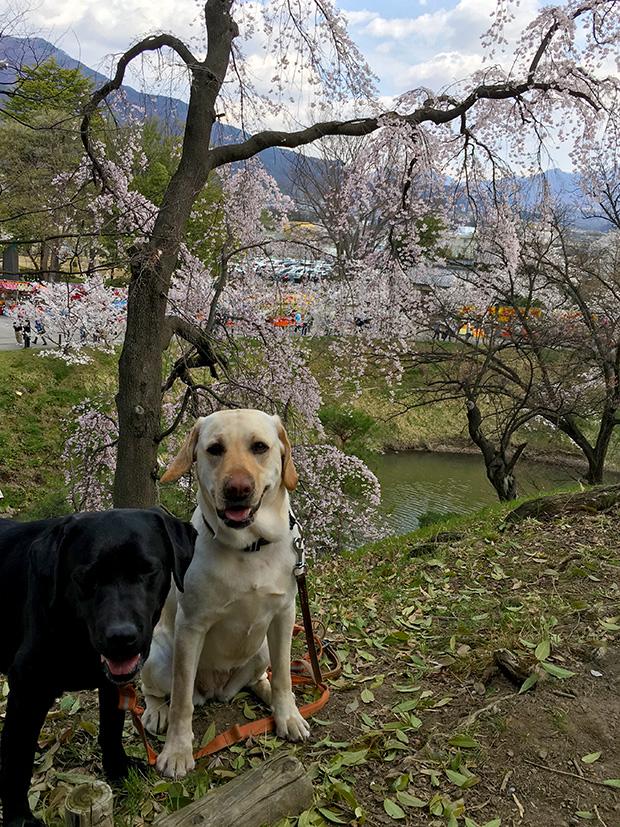 満開の桜の上田城を歩く二頭のラブラドール・レトリバー、メイプルとサフラン