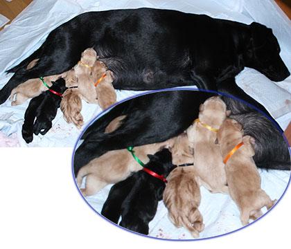 初乳をのむ6匹のラブラドールの子犬たち