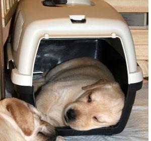 クレートトレーニング中のラブラドールの子犬