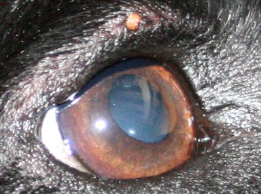 犬についたダニの拡大写真