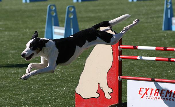 エクストリーム・チャンピオンシップ競技会でジャンプする犬