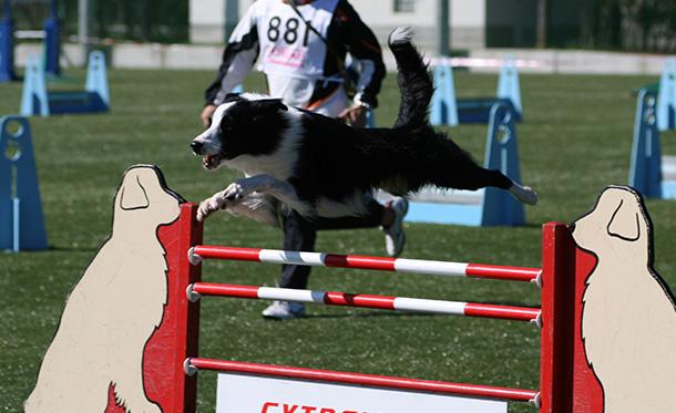 エクストリーム・チャンピオンシップ競技会でジャンプするボーダーコリー