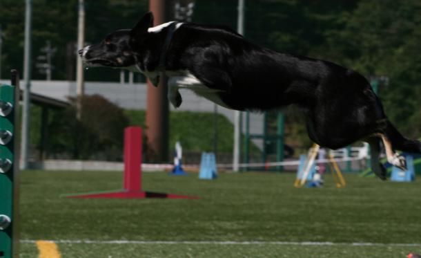 エクストリーム・チャンピオンシップ競技会でジャンプするドッグ