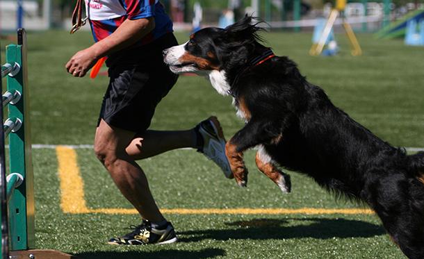 エクストリーム・チャンピオンシップ競技会でジャンプするバーニーズマウンテンドッグ