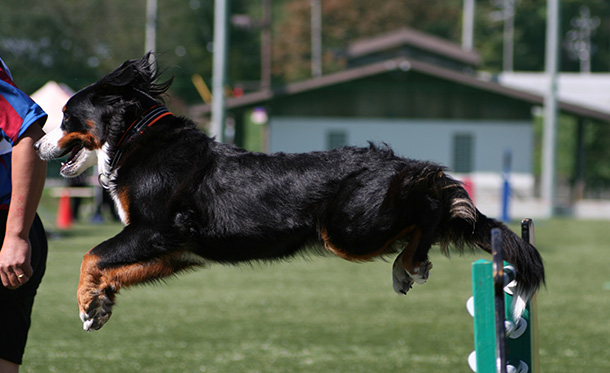 エクストリーム・チャンピオンシップ競技会でジャンプするバーニーズ・マウンテン・ドッグ
