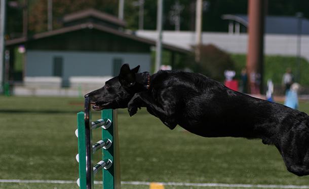エクストリーム・チャンピオンシップ競技会でジャンプするラブラドール・レトリバー