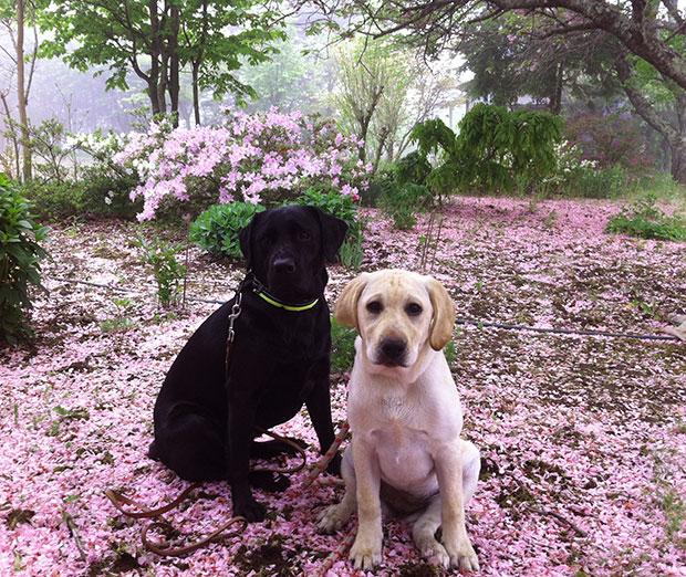 桜の絨毯でくつろぐラブラドール達
