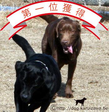 アメリカで一番人気のある犬に選ばれたラブラドール・レトリーバーの写真