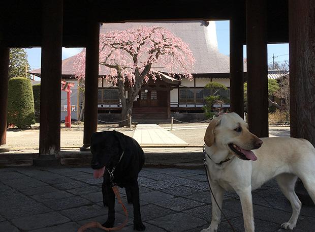小諸宿の端に位置する北国街道沿いの光岳寺と旧小諸城から移築された足柄門を通して見える満開の桜