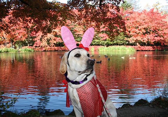 ハロウィーンの仮装をした犬、ラブラドール・レトリーバー