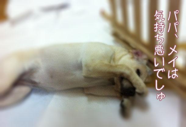 靴下を誤飲したラブラドールの子犬メイプル