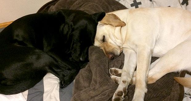 ラブラドール・レトリバー二頭がグッスリ眠る写真