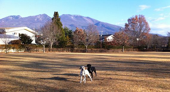 浅間山を背景にしたラブラドール二頭