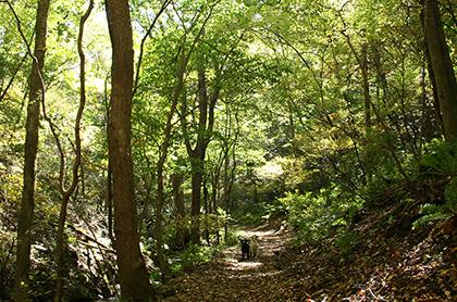 軽井沢の野鳥の森を散歩するラブラドール・レトリーバー
