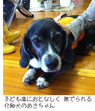 日本聴導犬協会に所属するあきちゃん