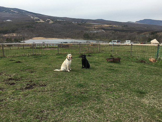 犬連れできる北軽井沢の無印カンパーニャキャンプ場にいるラブラドール・レトリーバー